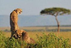 cheetah13.jpeg