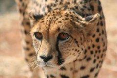 cheetah14.jpg