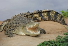 crocodile12.jpg